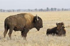 Bisonte de dois North-american no estepe Foto de Stock Royalty Free