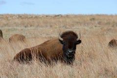 Bisonte de las montañas de Wichita Imagen de archivo