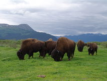Bisonte de madera de Alaska Imagen de archivo