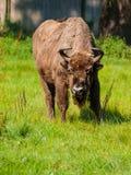 Bisonte de madera europeo en el bosque primitivo de Bialowieza imágenes de archivo libres de regalías