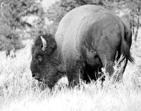 Bisonte de Yellowstone Imagens de Stock