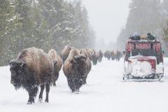 Bisonte de Yellowstone en los caminos del invierno Imágenes de archivo libres de regalías