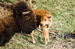 Bisonte del bambino e della madre Fotografia Stock Libera da Diritti