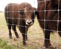 Bisonte del bebé Foto de archivo libre de regalías