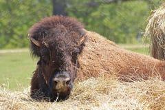 Bisonte del bisonte americano Immagine Stock Libera da Diritti