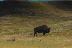 Bisonte del parco nazionale dei pascoli Immagine Stock Libera da Diritti