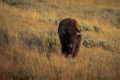 Bisonte del parque nacional de yellowstone Fotografía de archivo libre de regalías