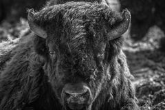Bisonte del terreno boscoso Immagini Stock
