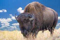 Bisonte del Wyoming Fotografie Stock