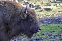 Bisonte dell'europeo del bisonte Immagini Stock Libere da Diritti