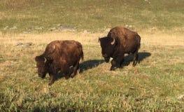 Bisonte della Buffalo Fotografie Stock