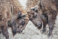 Bisonte di combattimento Immagini Stock