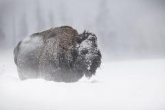 Bisonte di inverno fotografia stock libera da diritti