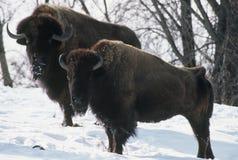 Bisonte di inverno del Minnesota Fotografia Stock