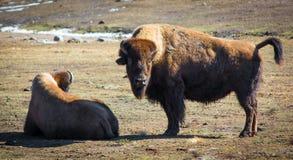 Bisonte di legno canadese che si rilassa nel campo durante il giorno di inverno Fotografia Stock