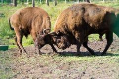 Bisonte di lotta Fotografia Stock