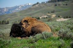 Bisonte di riposo Fotografia Stock