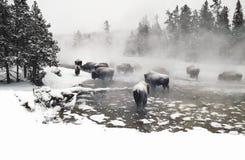 Bisonte di Wintering Fotografia Stock Libera da Diritti