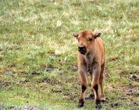 Bisonte do bebê Fotos de Stock Royalty Free