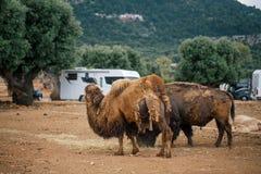 Bisonte e camelo no jardim zoológico Itália do safari do apulia de Fasano imagens de stock