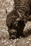 Bisonte e campo do Sepia fotos de stock
