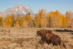 Bisonte e Tetons na queda Fotografia de Stock