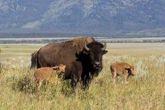 Bisonte e vitelas Imagens de Stock Royalty Free