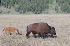 Bisonte e vitello Fotografie Stock Libere da Diritti
