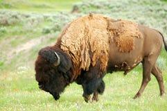 Bisonte ed uccello del Yellowstone Immagine Stock Libera da Diritti