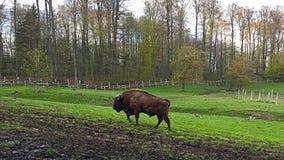 Bisonte em Hasseldieksdammer Gehölz imagem de stock royalty free