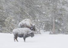 Bisonte em um blizzard ventoso na floresta foto de stock royalty free