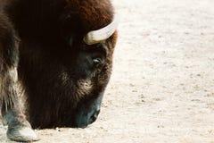 Bisonte em um jardim zoológico fotografia de stock