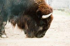 Bisonte em um jardim zoológico imagem de stock royalty free