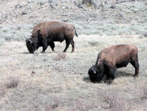 Bisonte em Yellowstone foto de stock