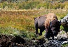 Bisonte en agujero del fango Imagenes de archivo