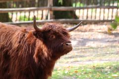 Bisonte en Alemania en parque zoológico en Nuremberg imágenes de archivo libres de regalías