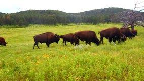 Bisonte en Custer State Park almacen de metraje de vídeo