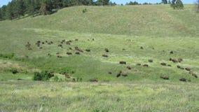 Bisonte en el Black Hills metrajes