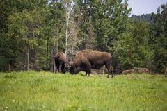 Bisonte en el bosque Imagen de archivo