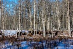 Bisonte en el bosque, parque nacional de la isla de los alces, Alberta, Canadá Fotos de archivo libres de regalías