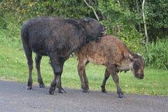 Bisonte en el camino Foto de archivo libre de regalías