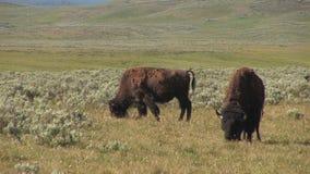 Bisonte en el parque nacional de yellowstone almacen de metraje de vídeo