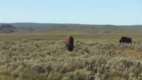 Bisonte en el parque nacional de yellowstone almacen de video
