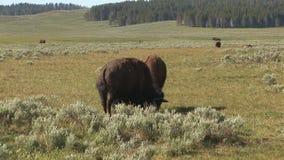 Bisonte en el parque nacional de yellowstone metrajes