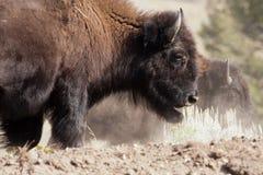 Bisonte en el parque nacional de Yellowstone, Wyoming Fotos de archivo