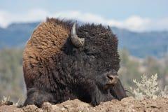 Bisonte en el parque nacional de Yellowstone, Wyoming Imagen de archivo libre de regalías
