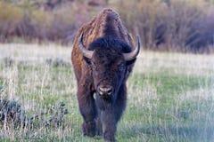 Bisonte en el parque nacional magnífico de Teton Imagenes de archivo