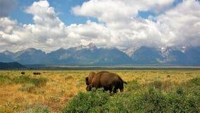 Bisonte en el parque nacional Teton fotos de archivo
