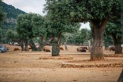 Bisonte en el parque zoológico en el parque zoológico Italia del safari del apulia de Fasano imágenes de archivo libres de regalías