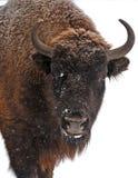 Bisonte en invierno imagen de archivo